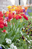 Multicolored tulips in a spring park Royalty Free Stock Photography