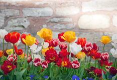Multicolored tulips in a spring park Stock Image