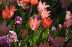 Multicolored tulips in the sunlight Stock Images