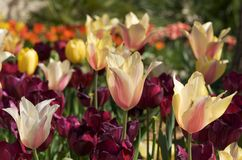 Multicolored tulips in the sunlight. An image of multicolored tulips in the sunlight Stock Photography