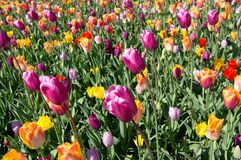 Multicolored tulips on a sunny day stock image