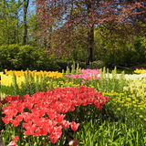 Multicolored tulips, trees and flowers in spring in the Keukenho Royalty Free Stock Image