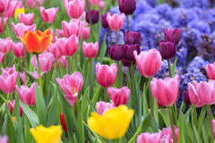 Multicolored tulips Royalty Free Stock Images
