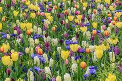 Multicolored tulpen, narzissen in de Tuinen van de lentekeukenhof Bloeiend bloembed Royalty-vrije Stock Afbeeldingen