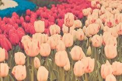 Multicolored tulpen op het bloembed Stock Afbeeldingen