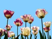 Multicolored tulpen tegen een achtergrond van een blauwe hemel worden geïsoleerd die Stock Afbeeldingen