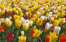 Multicolored tulpen in tuin stock fotografie