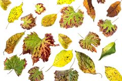 Multicolored verspreide bladeren De kleurrijke inzameling van de herfstbladeren op witte achtergrond Stock Fotografie