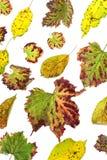 Multicolored verspreide bladeren De kleurrijke inzameling van de herfstbladeren op witte achtergrond Stock Afbeeldingen