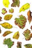Multicolored verspreide bladeren De kleurrijke inzameling van de herfstbladeren op witte achtergrond Stock Foto's