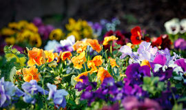 Multicolored violet flowers Royalty Free Stock Photos