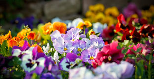 Multicolored violet flowers. Image of the multicolored violet flowers Stock Photography