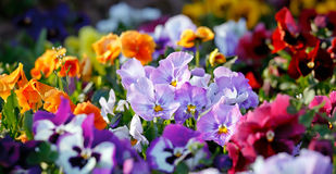 Multicolored violet flowers Stock Photo