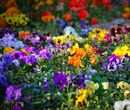 Multicolored violet flowers Stock Image