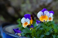 Multicolored violet flowers in a metal bucket stock images