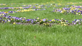 Multicolored violets bloom on a flowerbed. In the grass on a sunny day stock footage