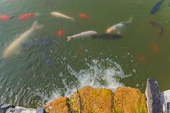 Multicolored vissen die in onduidelijk groen water drijven Wordt de individuen grote en kleinere grootte gevoed en dicht gehouden stock foto's