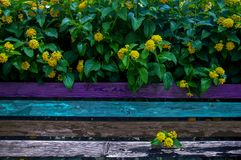 Multicolored bench and bush of yellow flowers stock images