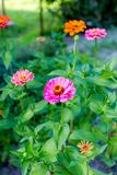 Multicolored zinnia in the garden. Selective focus royalty free stock image