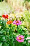 Multicolored zinnia in the garden. Selective focus stock image