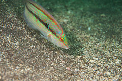 Multicolorfin rainbowfish Royalty Free Stock Photos
