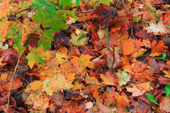 Multicolors fallen autumn leaves. In sunny day on ground Royalty Free Stock Photo