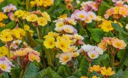 Multicolour blomma blommar Primel Peach Melba i guling, rosa färgen, aprikos Royaltyfria Foton
