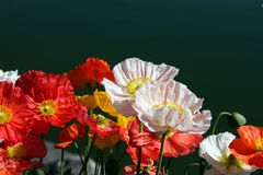 Multicolour Poppy flowers Royalty Free Stock Photos