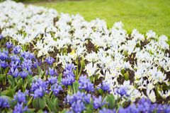 Multicolour tulipan wiosłuje, Keukenhof ogród, Holandia obraz stock