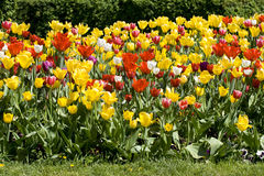 Multicolour tulips. Makes a fantastic spring time background stock photography