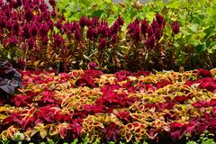 Multicoloured cosmos and maroon celosia flats ready for planting Edwards Gardens Royalty Free Stock Photo