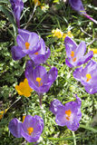 Multicoloured crocus flowers growing in grass Stock Image