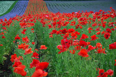 The multicoloured field. The red popy field Stock Images