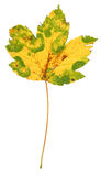 Multicoloured Maple Leaf  Stock Photos