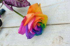 Multicoloured Rose Royalty Free Stock Photo
