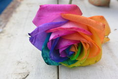 Multicoloured Rose Stock Photos