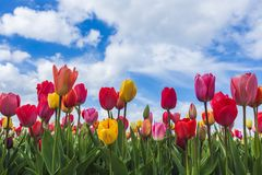 Tulips, Yersekendam, Zeeland province, Netherlands. Multicoloured tulip field and clouds in the blue sky. Yersekendam, Zeeland province, Netherlands stock photos