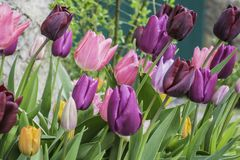 Multicoloured tulip flowers growing on flower bed in UK garden. Multicoloured, cultivated tulip flowers blooming on flower bed in british town, in May.Springtime royalty free stock photography