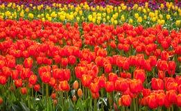 Multicoloured tulipanu pole, Wiktoria, Australia, Wrzesień 2016 obraz royalty free
