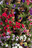 Multicoloured variety of Petunias in street floral arrangement Stock Images