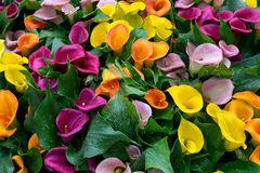 Multicoloured yellow, pink orange, purple calla flowers as background royalty free stock images