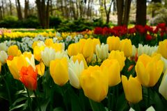 Multicolours flowers field close up in Holland , spring time flowers in Keukenhof. Beauty royalty free stock image