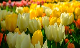 Multicolours tulips close up in Holland , spring time flowers in Keukenhof. Beauty royalty free stock photography