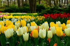 Multicolours tulips close up in Holland , spring time flowers in Keukenhof. Beauty royalty free stock photo
