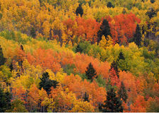 Free Multicored Aspens Stock Images - 311294