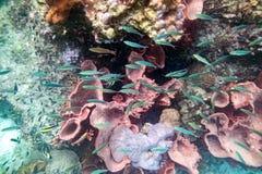 Multidão colorida subaquática dos peixes do recife de corais da vida Fotos de Stock