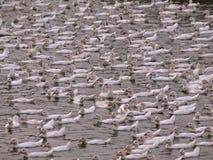 Multidão de patos Fotografia de Stock Royalty Free