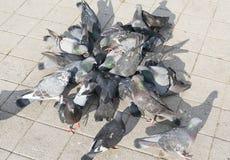 Multidão de pombo na rua de passeio fotografia de stock