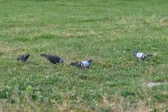 Multidão de pombo no prado foto de stock royalty free