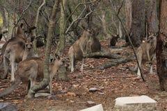 Multidão do canguru Fotos de Stock